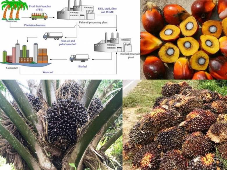 SAWIT |  Dari Fosil ke Biofuel